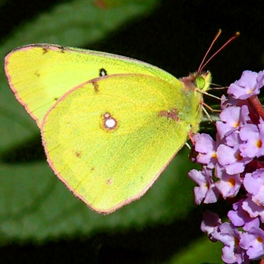 6 clouded sulphur butterfly facts – Dickinson County ... |Clouded Sulphur Butterfly