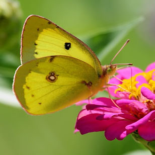 Miscellaneous Butterfly Pictures |Clouded Sulphur Butterfly