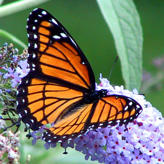 monarch and viceroy butterfly relationship