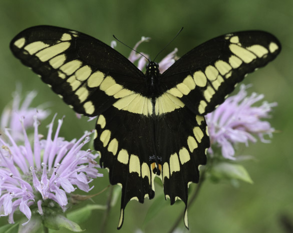 Giant Swallow Tail Butterfly