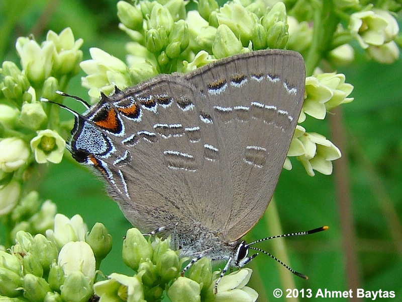 New Jersey Butterfly Info/Images Page