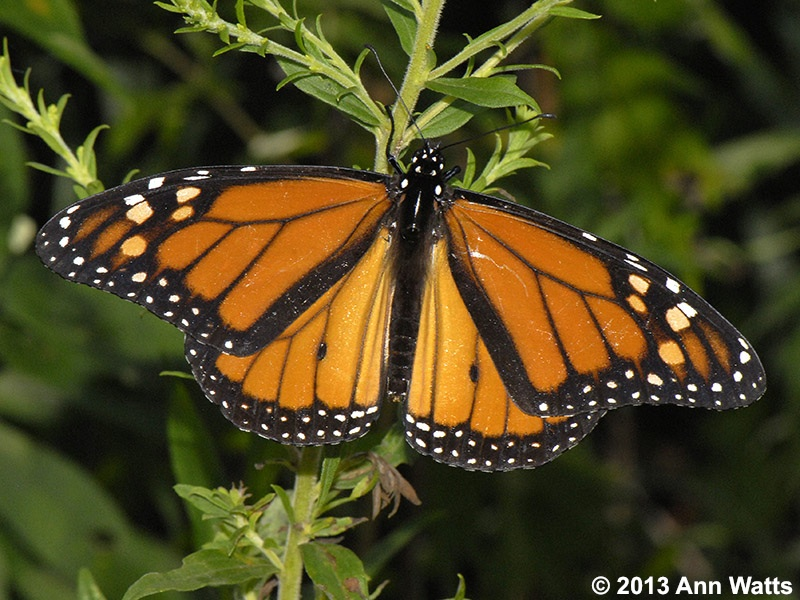 New Jersey Butterfly Info Images Page