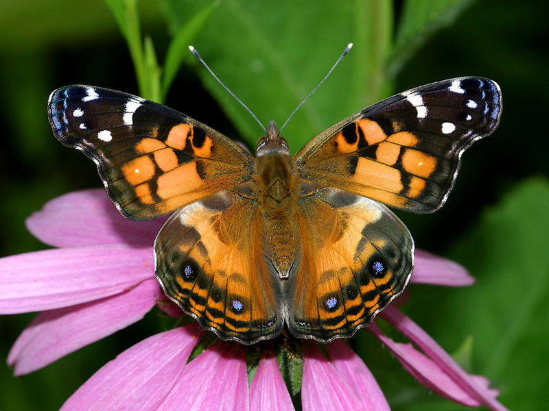 Go Back > Gallery For > American Painted Lady