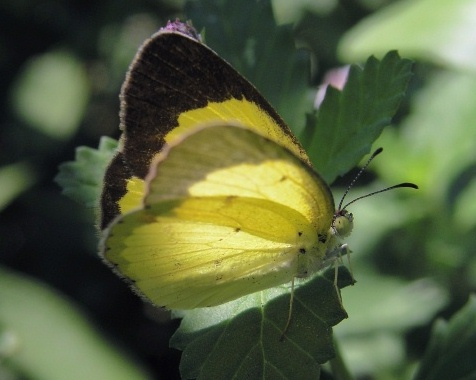 Little Yellow (Eurema lisa): http://www.naba.org/chapters/nabast/Little%20yellow.html