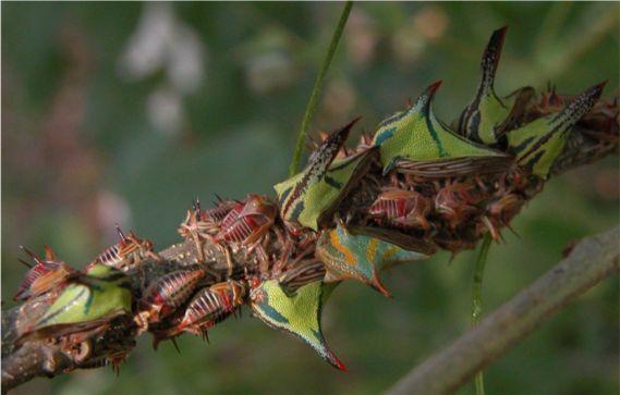 Thorn Bug Umbonia Crassicornis