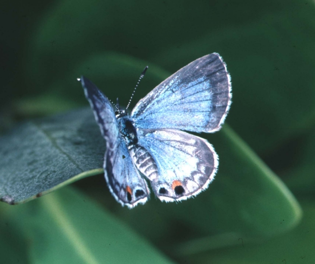 the rare Miami blue butterfly, to be protected under the agreement--photo by J Glassberg
