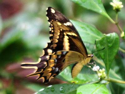Schaus Swallowtail